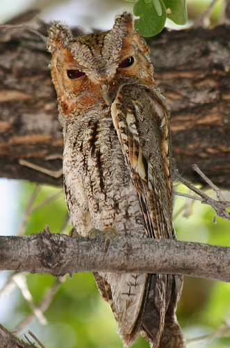 03 flammulated owl pete grube 20160801 1769221670