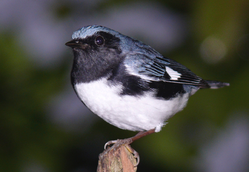 Black-throated Blue Warbler. Photo by Rick Taylor. Copyright <strong><strong>Borderland Tours</strong></strong>. All rights reserved.