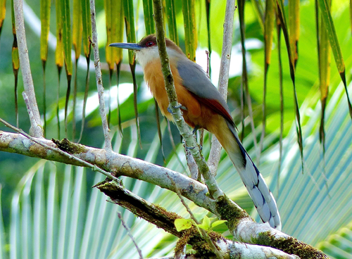 Jamaican Lizard-Cuckoo. Photo by Rick Taylor. Copyright <strong><strong>Borderland Tours</strong></strong>. All rights reserved.