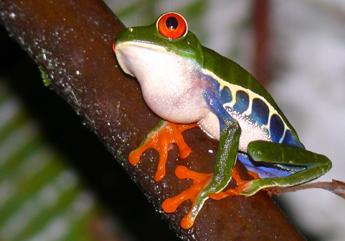 Red-eyed Tree Frog. Photo by Rick Taylor. Copyright <strong><strong>Borderland Tours</strong></strong>. All rights reserved.
