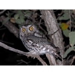 Whiskered Screech-Owl. Photo by Rick Taylor. Copyright Borderland Tours. All rights reserved.