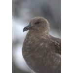 South Polar Skua. Photo by Adam Riley. All rights reserved.