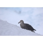 Antarctic Giant Petrel. Photo by Adam Riley. All rights reserved.