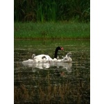 Black-necked Swan with cygnets. Photo by Rick Taylor. Copyright Borderland Tours. All rights reserved.
