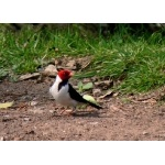 Yellow-billed Cardinal. Photo by Rick Taylor. Copyright Borderland Tours. All rights reserved.
