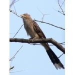 Guira Cuckoo. Photo by Rick Taylor. Copyright Borderland Tours. All rights reserved.