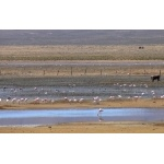 Flamingos and Andean Geese at Abra Pampa. Photo by Rick Taylor. Copyright Borderland Tours. All rights reserved.