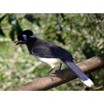 Plush-crested Jay at Iguazú Falls. Photo by Rick Taylor. Copyright Borderland Tours. All rights reserved.