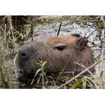Portrait of a Capybara. Photo by Rick Taylor. Copyright Borderland Tours. All rights reserved.