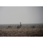 Greater Rheas. Photo by Rick Taylor. Copyright Borderland Tours. All rights reserved.