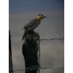 Campo Flicker. Photo by Rick Taylor. Copyright Borderland Tours. All rights reserved.