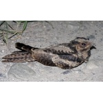 Large-tailed Nightjar. Photo by Rick Taylor. Copyright Borderland Tours. All rights reserved.