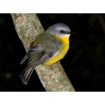 Eastern Yellow Robin. Photo by Rick Taylor. Copyright Borderland Tours. All rights reserved.