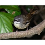 White-browed Scrubwren. Photo by Rick Taylor. Copyright Borderland Tours. All rights reserved.