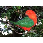 Australian King Parrot. Photo by Rick Taylor. Copyright Borderland Tours. All rights reserved.