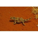 Thorny Devil at Desert Park, Alice Springs. Photo by Rick Taylor. Copyright Borderland Tours. All rights reserved.
