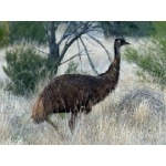 Emu. Photo by Larry Sassaman. All rights reserved.