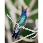 Broad-billed Hummingbird at our hotel in El Fuerte. Photo by Barry Ulman. All rights reserved.