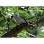 Black-capped Gnatcatcher. Photo by Rick Taylor. Copyright Borderland Tours. All rights reserved.