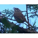Rusty Sparrow at Divisadero. Photo by Rick Taylor. Copyright Borderland Tours. All rights reserved.