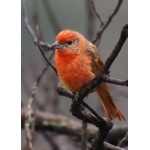 Hepatic Tanager. Photo by Barry Ulman. All rights reserved.