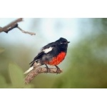 Painted Redstart at Divisadero. Photo by Barry Ulman. All rights reserved.