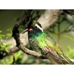 White-eared Hummingbird. Photo by Rick Taylor. Copyright Borderland Tours. All rights reserved.