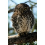 Northern Pygmy-Owl. Photo by Rick Taylor. Copyright Borderland Tours. All rights reserved.
