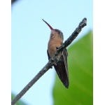 Cinnamon Hummingbird. Photo by Joyce Meyer and Mike West. All rights reserved.