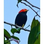 Red-capped Manakin. Photo by Joyce Meyer and Mike West. All rights reserved.