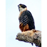 Orange-breasted Falcon. Photo by Ken Allen.  All rights reserved.