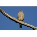 Roadside Hawk. Photo by Joyce Meyer and Mike West.  All rights reserved.