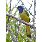 Green Jay. Photo by Joyce Meyer and Mike West.  All rights reserved.