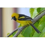 Yellow-tailed Oriole. Photo by Joyce Meyer and Mike West.  All rights reserved.