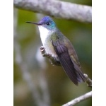 Azure-crowned Hummingbird. Photo by Joyce Meyer and Mike West.  All rights reserved.