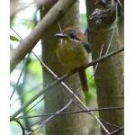 Tody Motmot. Photo by Joyce Meyer and Mike West.  All rights reserved.