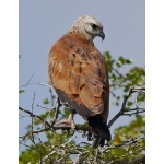 Black-collared Hawk, Crooked Tree Lagoon. Photo by Joyce Meyer and Mike West. All rights reserved.
