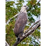Great Black-Hawk, juvenile. Photo by Joyce Meyer and Mike West. All rights reserved.