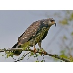Snail Kite, juvenile. Photo by Joyce Meyer and Mike West. All rights reserved.