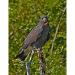 Snail Kite, adult male. Photo by Joyce Meyer and Mike West. All rights reserved.