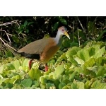 Gray-necked Wood-Rail. Photo by Joyce Meyer and Mike West. All rights reserved.