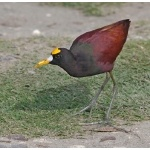 Northern Jacana. Photo by Joyce Meyer and Mike West. All rights reserved.