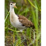 Juvenile Northern Jacana. Photo by Irene Rubin. All rights reserved.