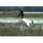 Jabiru. Photo by Ken Allen. All rights reserved.