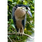 Boat-billed Heron. Photo by Irene Rubin. All rights reserved.