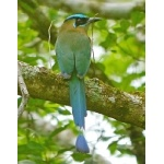 Blue-crowned Motmot. Photo by Joyce Meyer and Mike West.  All rights reserved.