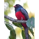 Slaty-tailed Trogon. Photo by Joyce Meyer and Mike West.  All rights reserved.