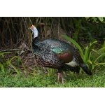 Ocellated Turkey. Photo by Joyce Meyer and Mike West.  All rights reserved.