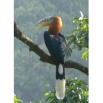 Rufous-necked Hornbill. Photo by Larry Sassaman. All rights reserved.