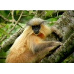 Golden Langur. Photo by Adam Riley. All rights reserved.